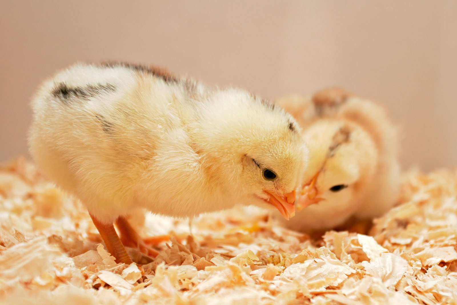 Day_old_chick02